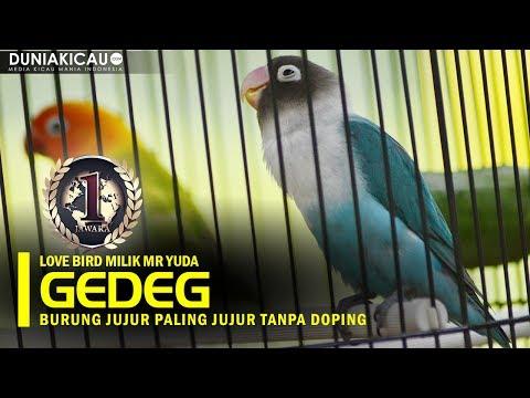 Dunia Kicau : Love Bird GEDEG! Burung Konslet Paling Jujur se-Indonesia!
