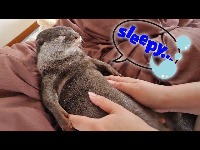 全く起きようとしないカワウソのビンゴ!Otter Bingo is exhausted, what he had last night?