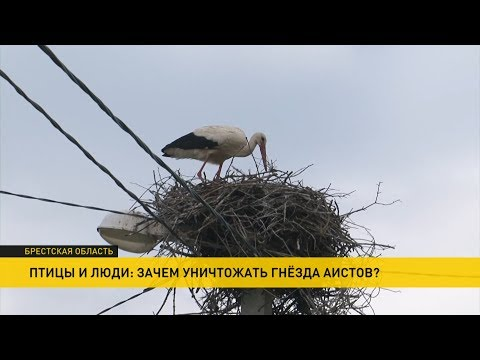 В Брестской области спасают белых аистов