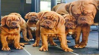 Gurusewak  Kennel || French Mastiff || Saint Brenade || Tibetan Mastiff || Scoobers
