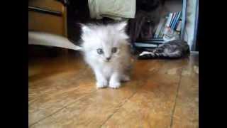 仔猫販売 http://www.h2.dion.ne.jp/~happyfm/