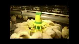 Automatic poultry equipment for meat chicken farm