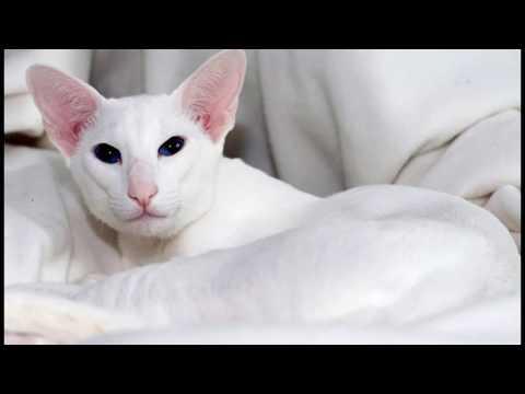 Вопрос: Какие отличие и сходства ориентальной кошки от форин вайта?