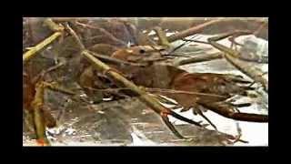 沼蝦的詳細做法