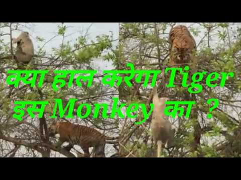 Tiger ने Monkey का कर दिया झिंगालाला। In Jungle Tiger Attacked On Monkey Mother Holding Her Baby.