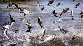 HD! Invasion der fliegenden Karpfen [Doku]