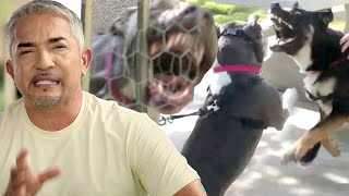 Violent and Powerful Pitbull is Ripping This Family Apart | Cesar 911