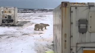 о.Врангеля белые медведи пришли на обед(, 2015-01-11T11:43:26.000Z)