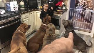 7 year old learning to feed GIANT pit bulls HULK & his kids 😲