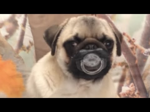 30 Incredible Pug Videos