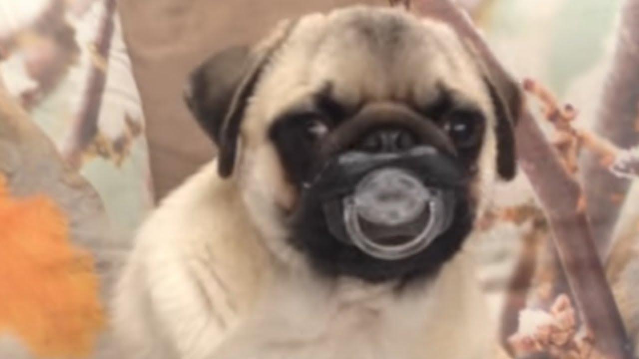 9943f7bd545 30 Incredible Pug Videos - YouTube