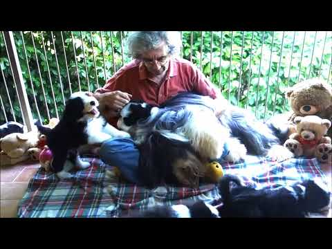 BEARDED COLLIE GREMONTREE - Yvonne's puppies 2018 Daddy