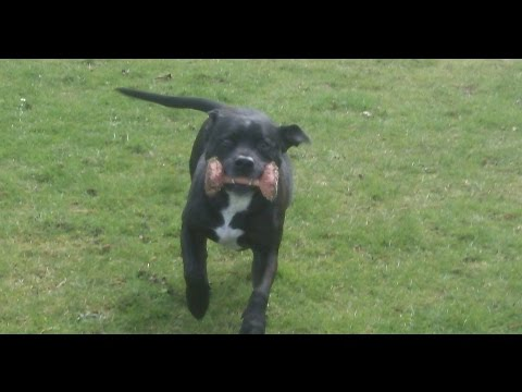 Staffordshire Bull Terrier Dave playing.