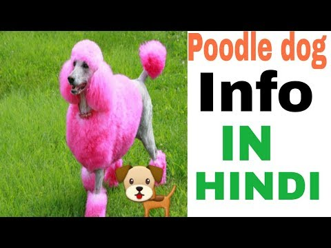 Poodle dog facts in hindi
