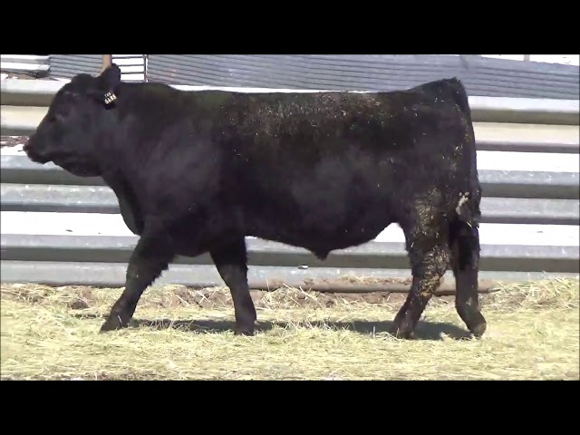 Connealy Angus Lot 7