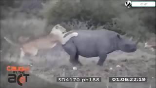Ютубе в мире животных жестокие схватки разных хищников