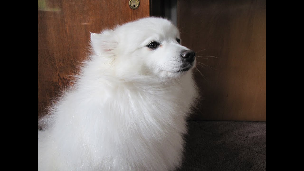 Japanese Spitz Has A Bath And Blow Dry Youtube