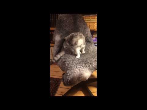 Katt slåss med sin svans