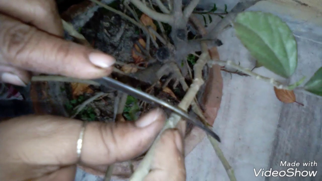 How To Prune A Hibiscus Plantpruning Hibiscushow To Trim Hibiscus