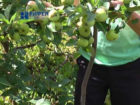 Подпорка для яблони своими руками 97