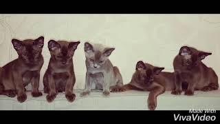 Наши бурманские котята