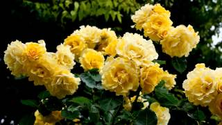 The Butchart Rose Garden Vancouver Island British Columbia Canada YouTube