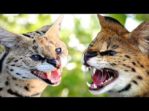 Savannah Cat vs Serval - Understanding The Differences
