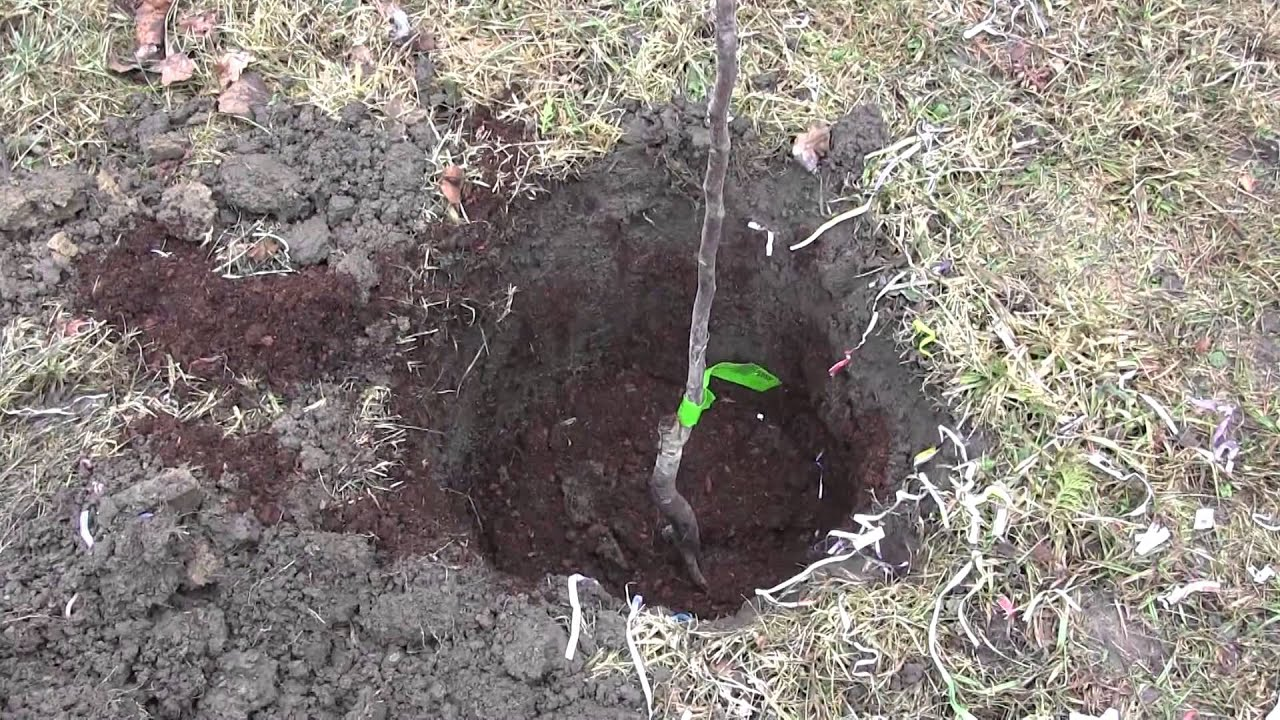 How to Plant Bare Root Fruit Trees With Ease