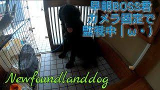Wake up Newfoundlanddog GoPro6 4k60p撮影 ニューファンドランドBOSS君...