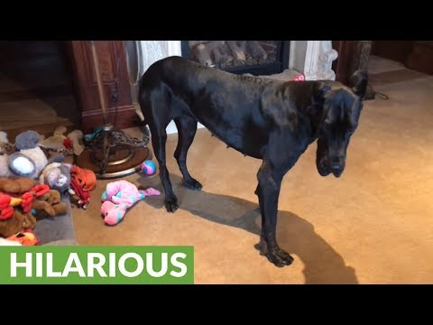 Great Dane & cat do their morning stretching routine