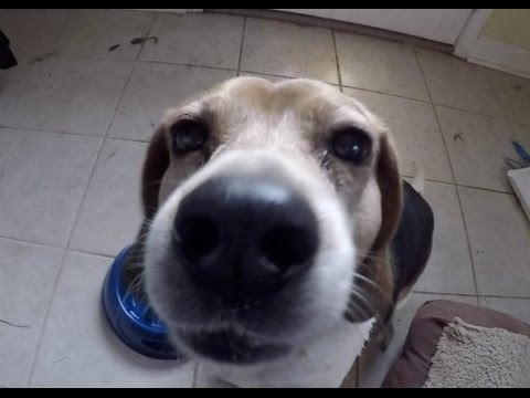 Hound Dogs react to being Fed (they love it)