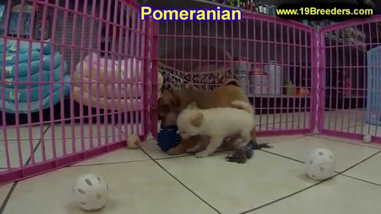 Pomeranian Puppies For Sale In Springfield Missouri MO St