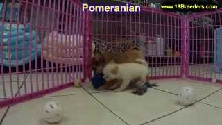 Pomeranian, Puppies, For, Sale, In, Springfield, Missouri, Mo, St  Charles, St  Joseph, O'fallon, Le