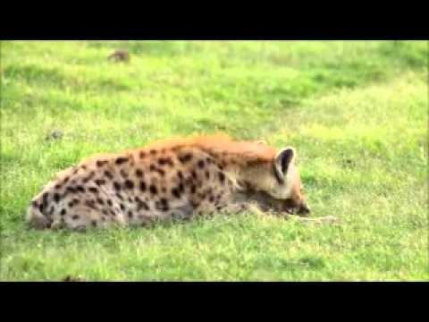 Addo Hyena Call - Addo Elephant Park