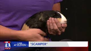 SCAMPER - Fox 13 Best Friend from the Humane Society of Utah