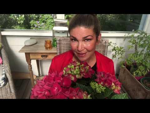Hortensia hur ta sticklingar av hortensior  - Hydrangea Cutting