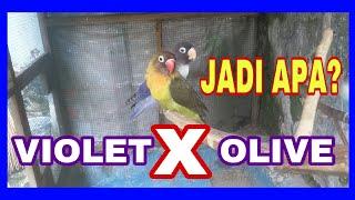 Video Violet X Olive ,,, jadi apa ???? download MP3, 3GP, MP4, WEBM, AVI, FLV Juni 2018