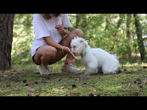 Summer 2019 ? Leila - coton de tulear (8 months)