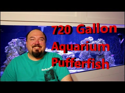 720 Gallon Aquarium Puffers