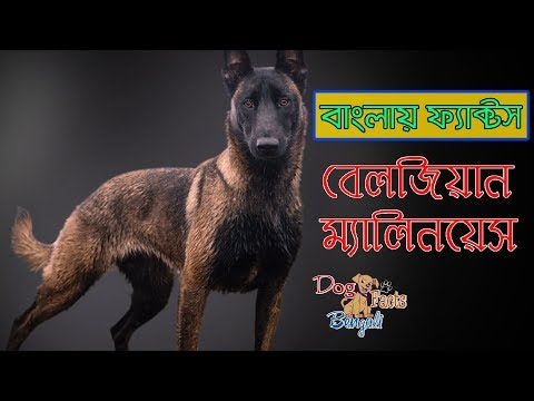 Belgian malinois Dog facts in Bengali | Most popular dog breeds | Dog and Pets
