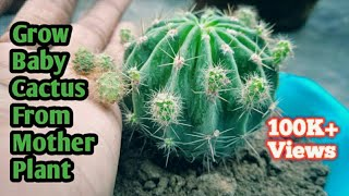 Best Way To Grow Baby Cactus with this method  || Cactus Propagation ( With Update) Part 1
