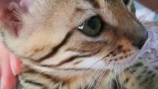 Домашнее видео, кошка 🙀 ведет себя как ребёнок