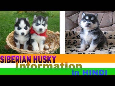 siberian husky fact in hindi