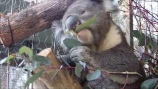 Oceans 2 Earth Volunteers Australian Wildlife Rescue - Craig the Rescued Koala