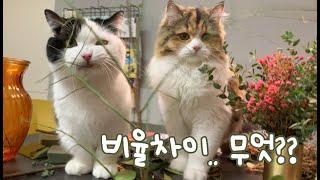 고양이들의 폭력성!! 그나저나 너희 비율차이 무엇?? ㅋㅋㅋ