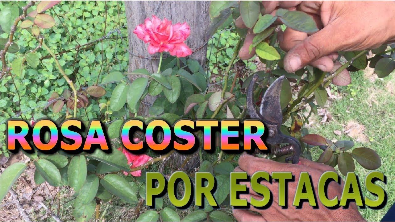Reproduccion asexual de las plantas por esquejes de rosas