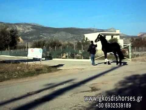 Επιβήτορας Friesian 4 ετών - www.gkosdishorses.gr Άλογα Γκοσδής