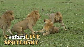 Male lions and the life of a coalition.