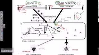 Gene therapy using adeno virus