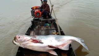 Memancing Ikan Tapah Raksasa di Sungai Sampit Kalimantan